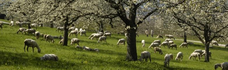 Schafe unter Streuobst