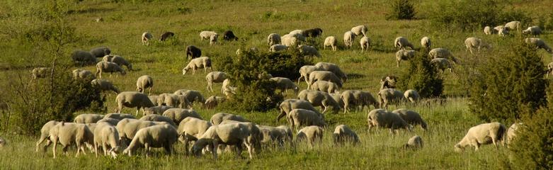 SchafeLautertalWachholderheide