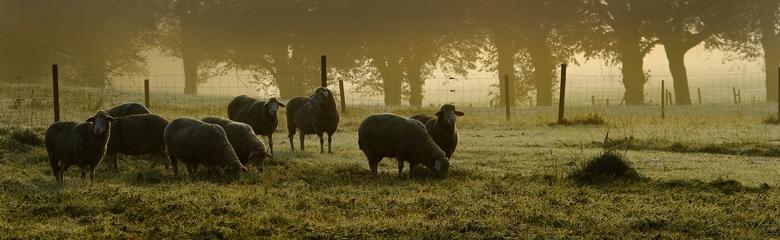 Schafe auf der Eninger Weide