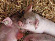 Foto Schweine im Stroh