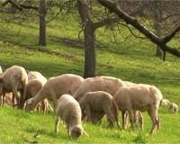 Weidende_Schafe